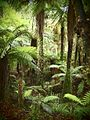Best of New Zealand (ferns in a forest).jpg