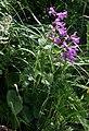 Betonica macrantha 2.jpg
