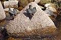 Bettelnde Wasseramseln an der Murg in Gernsbach IMGP8368.jpg