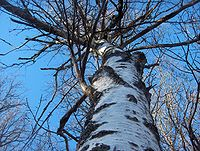 Betula pendula at Ågestasjön in spring 2008-1