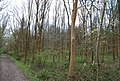 Birch trees, The Slips - geograph.org.uk - 1260407.jpg