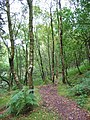 Birches in Forest Wood - geograph.org.uk - 317945.jpg