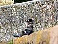 Bird-watcher on Goat Walk - geograph.org.uk - 1034196.jpg
