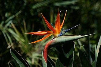 Strelitzia reginae - Flower