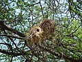 Birdnests in Tanzania 1592 Nevit.jpg