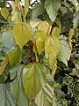 Bixa orellana - Lipstick Tree at Iritty 3.jpg