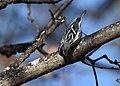 Black-and-white Warbler (documentation photos) (46346268971).jpg