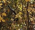 Black-capped-Chickadee-Poecile atricapillus..jpg