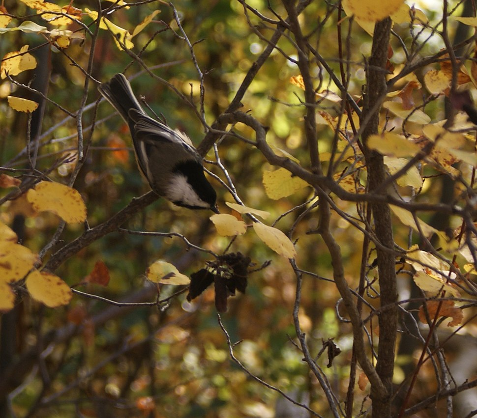 Black-capped-Chickadee-Poecile atricapillus.