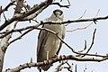Black-crowned Night-Heron, Detroit Zoo, 6 May 2013 (8714570593).jpg