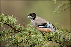 Black-headed-jay-rkd.jpg