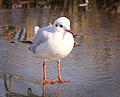 Black-headed gull (25911930187).jpg
