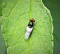 Black-horned Gem. Microchrysa polita (43401330831).jpg