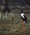 Black-necked Stork (Ephippiorhynchus asiaticus) female (20749763482).jpg
