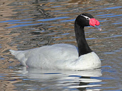 Black-necked Swan RWD.jpg