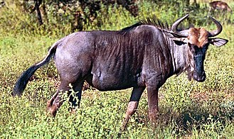 Wildlife of Eswatini - Blue wildebeest