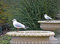 Black Headed Gulls (Larus ridibundus) - geograph.org.uk - 1175997.jpg