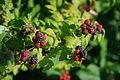 Black raspberries.JPG