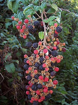 Blackberries, Pitts Lane - geograph.org.uk - 1492491