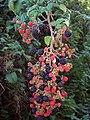 Blackberries, Pitts Lane - geograph.org.uk - 1492491.jpg
