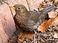 Blackbird (Female) (6980253189).jpg