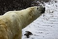 Blakava the polar bear (6355765225).jpg