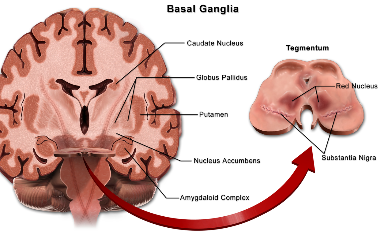 basal ganglia wikiwandViewing Gallery For Basal Ganglia Diagram #2