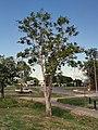 Blepharocarya involcrigera tree2.jpg