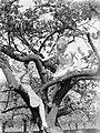 Bloeiende fruitboom in de Betuwe met Van der Polls stiefdochters Hans en Renée, Bestanddeelnr 190-0002.jpg