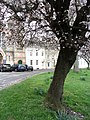 Blossom in Tetbury - March 2012 - panoramio.jpg