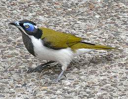A medium-sized songbird with a prominent blue eye-patch sits on pebbled concrete.
