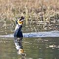 Blue-eyed Indian cormorant swallows catfish.jpg