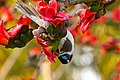 Blue-faced honeyeater with Red Silk Cotton Flowers - AndrewMercer IMG41929.jpg