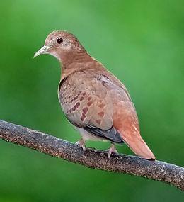 Blue Ground Dove female