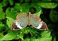 Blue Oakleaf female by Dr. Raju Kasambe DSCN1443 (7).jpg