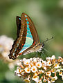 Blue Triangle Butterfly.jpg
