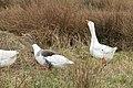 Boerengans (Anser anser forma domesticus) 03.JPG