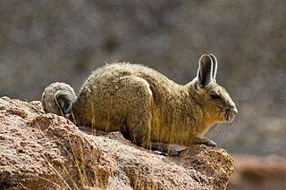 Southern viscacha species of rodent