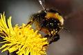 Bombus lucorum pollinating tussilago farfara.JPG
