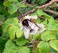 Bombus sp. ( probably lucorum) - Flickr - gailhampshire.jpg