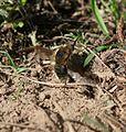 Bombylius major - Flickr - S. Rae (4).jpg