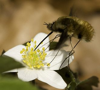 The bee-fly Bombylius major, a Batesian mimic of bees, taking nectar and pollinating a flower. Bombylius major on flower.jpg