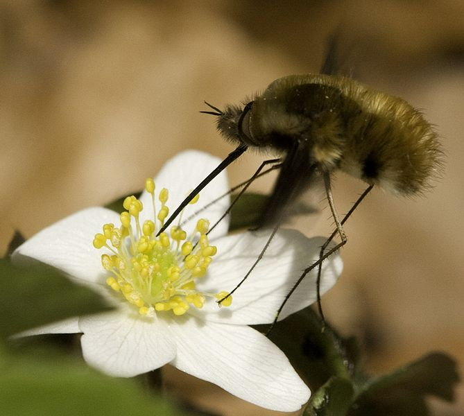 Archivo:Bombylius major on flower.jpg