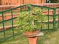 Bonsai tree-2-eco park-kolkata-India.jpg