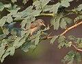 Booted Warbler (Hippolais caligata) in Kawal WS, AP W IMG 1956.jpg