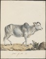 Bos indicus - 1700-1880 - Print - Iconographia Zoologica - Special Collections University of Amsterdam - UBA01 IZ21200133.tif