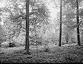 Bosbescherming, oude bossen, groepsgewijze tussenplanting, japanse lork, fijnspa, Bestanddeelnr 165-0497.jpg