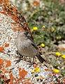 Brandt's Mountain Finch (Leucosticte brandti) (48700742253).jpg