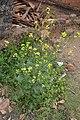 Brassica nigra at Mayyil (3).jpg