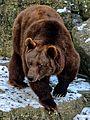 Braunbär Winter im Wildpark Bad Mergentheim.jpg